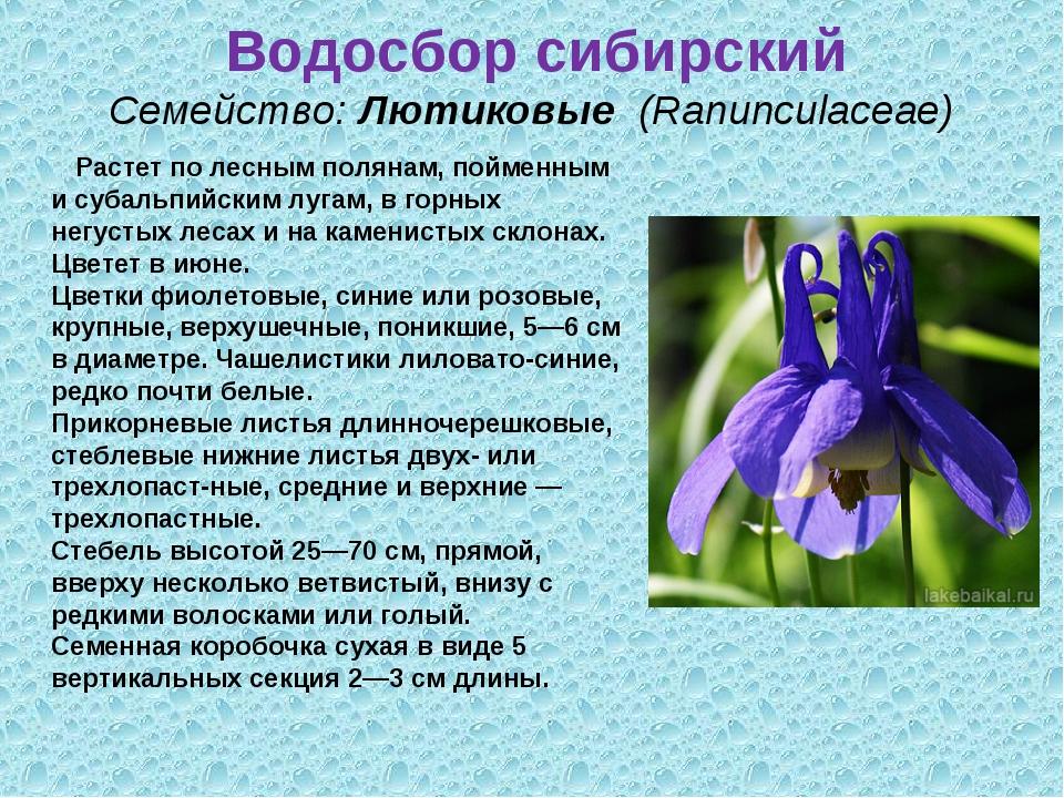 Водосбор сибирский Семейство:Лютиковые (Ranunculaceae) Растет по лесным по...