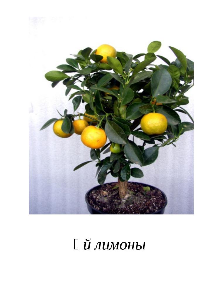 Үй лимоны