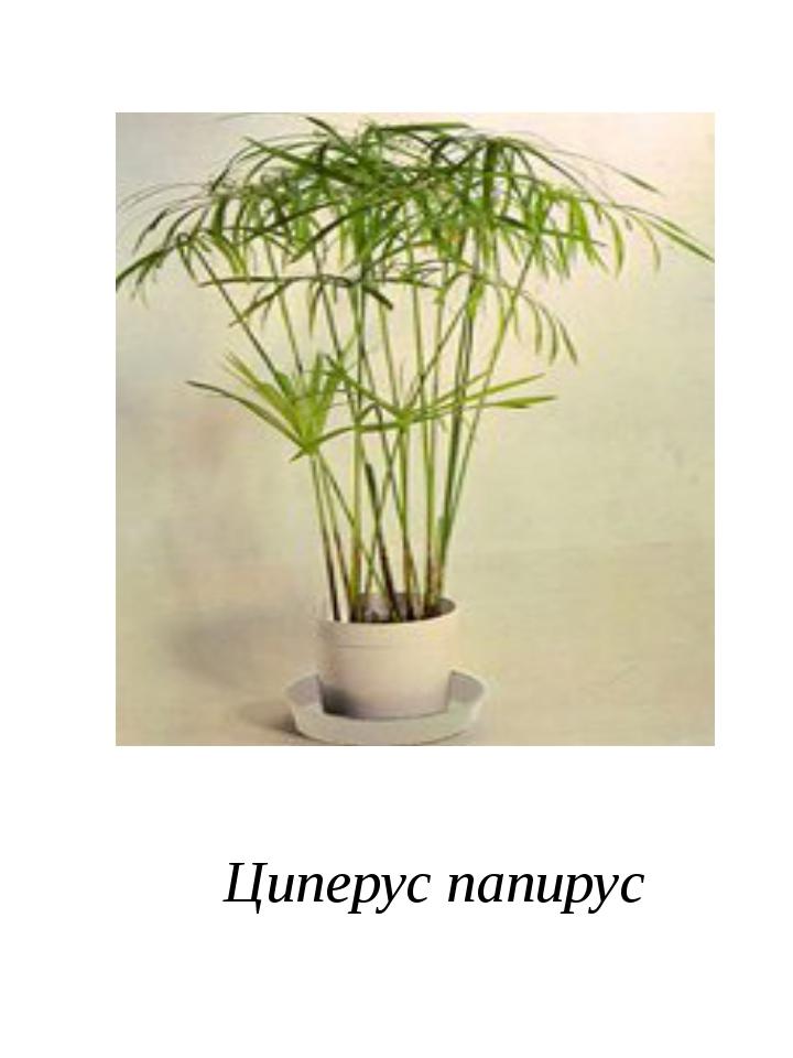 Циперус папирус