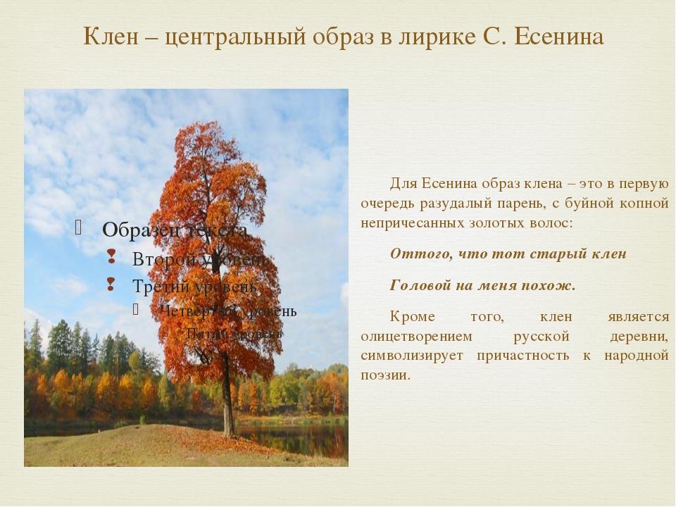 Клен – центральный образ в лирике С. Есенина Для Есенина образ клена – это в...