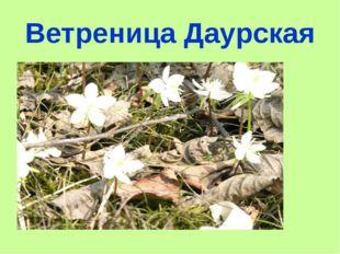 Ветреница Даурская