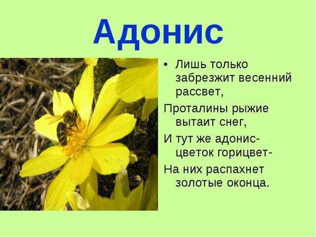 Адонис Лишь только забрезжит весенний рассвет, Проталины рыжие вытаит снег, И...