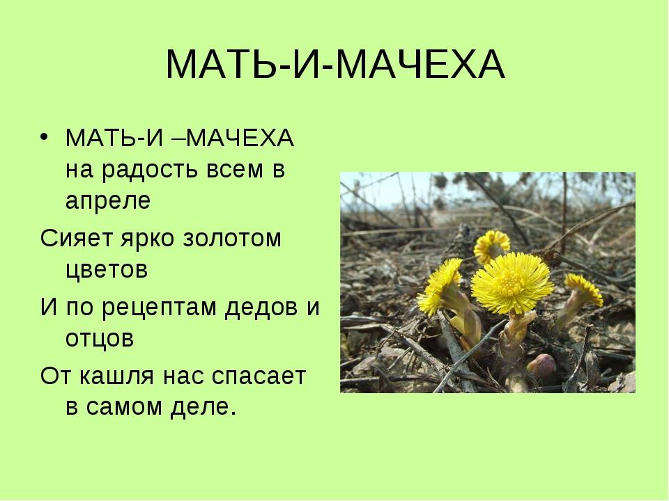 МАТЬ-И-МАЧЕХА МАТЬ-И –МАЧЕХА на радость всем в апреле Сияет ярко золотом цвет...