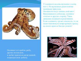 У осьминога восемь щупалец («осемь ног»). На щупальцах расположены маленькие