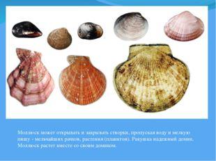 Моллюск может открывать и закрывать створки, пропуская воду и мелкую пишу - м