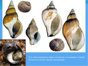 И в таких раковинах живут моллюски, их называют улитки. Питаются улитки обычн