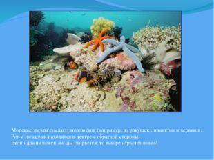 Морские звезды поедают моллюсков (например, из ракушек), планктон и червяков.