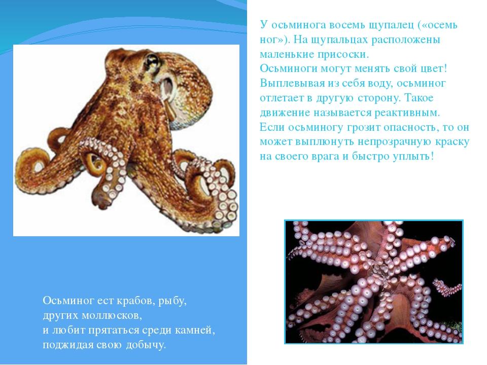 У осьминога восемь щупалец («осемь ног»). На щупальцах расположены маленькие...
