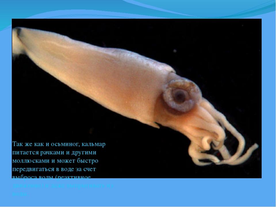 Так же как и осьминог, кальмар питается рачками и другими моллюсками и может...