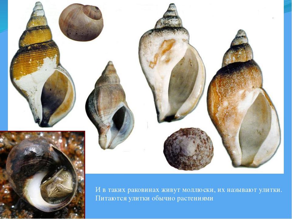 И в таких раковинах живут моллюски, их называют улитки. Питаются улитки обычн...