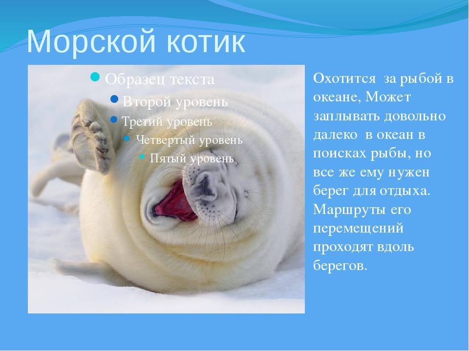 Морской котик Охотится за рыбой в океане, Может заплывать довольно далеко в о...