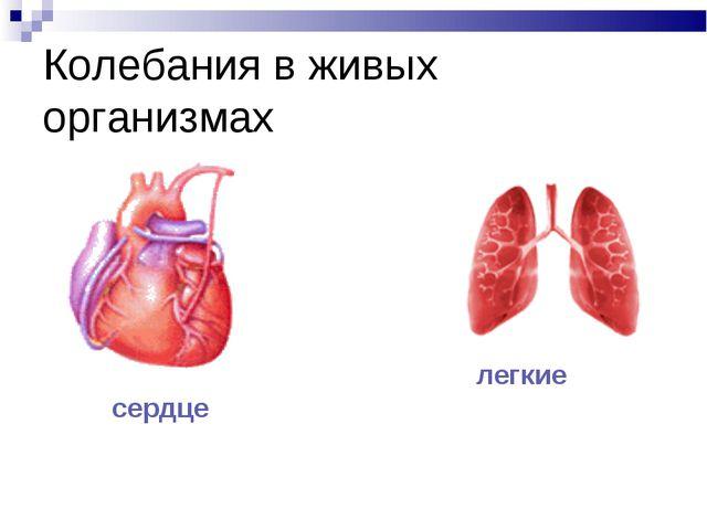Колебания в живых организмах сердце легкие