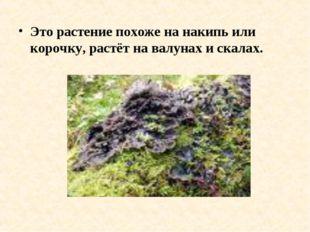 Это растение похоже на накипь или корочку, растёт на валунах и скалах.