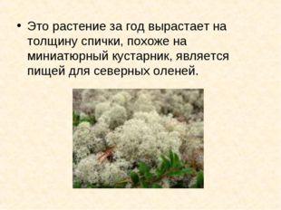 Это растение за год вырастает на толщину спички, похоже на миниатюрный кустар