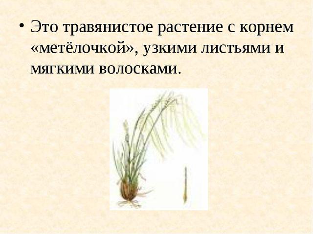 Это травянистое растение с корнем «метёлочкой», узкими листьями и мягкими вол...