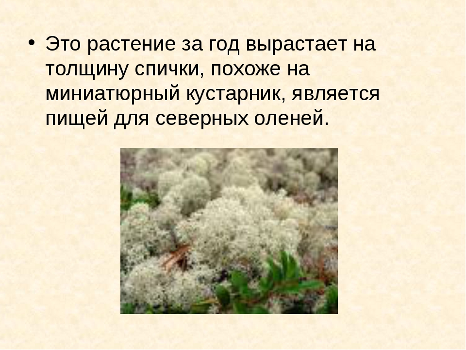 Это растение за год вырастает на толщину спички, похоже на миниатюрный кустар...
