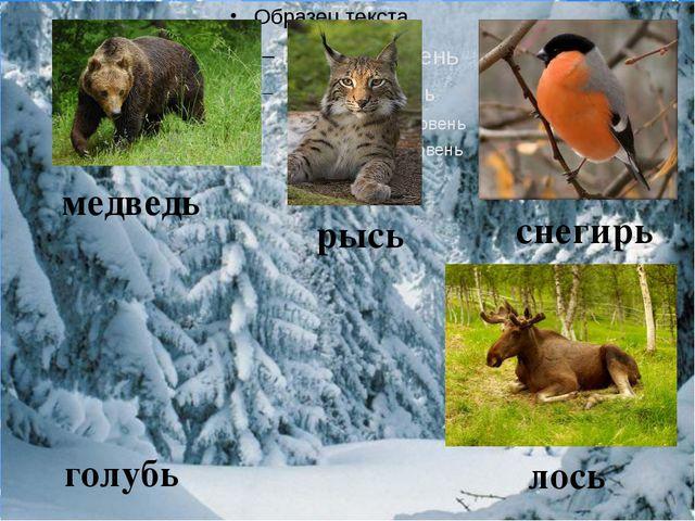 медведь рысь снегирь голубь лось