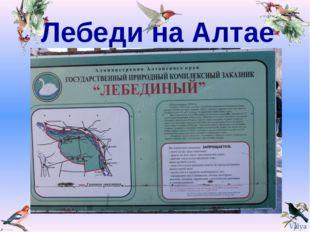 Лебеди на Алтае Valya Valya