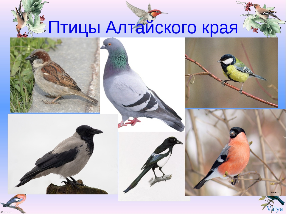 Птицы Алтайского края Valya Valya