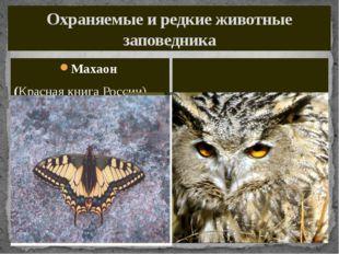 Охраняемые и редкие животные заповедника Махаон (Красная книга России) Филин