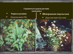 Охраняемые и редкие растения заповедника Родиола розовая (Красная книга РК)