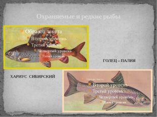 Охраняемые и редкие рыбы ХАРИУС СИБИРСКИЙ ГОЛЕЦ – ПАЛИЯ