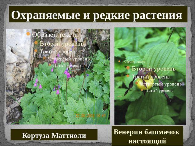 Кортуза Маттиоли Охраняемые и редкие растения Венерин башмачок настоящий