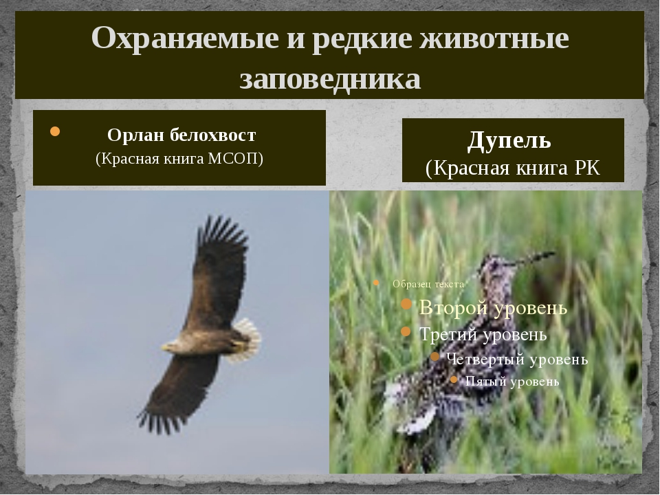 Охраняемые и редкие животные заповедника Орлан белохвост (Красная книга МСОП)...