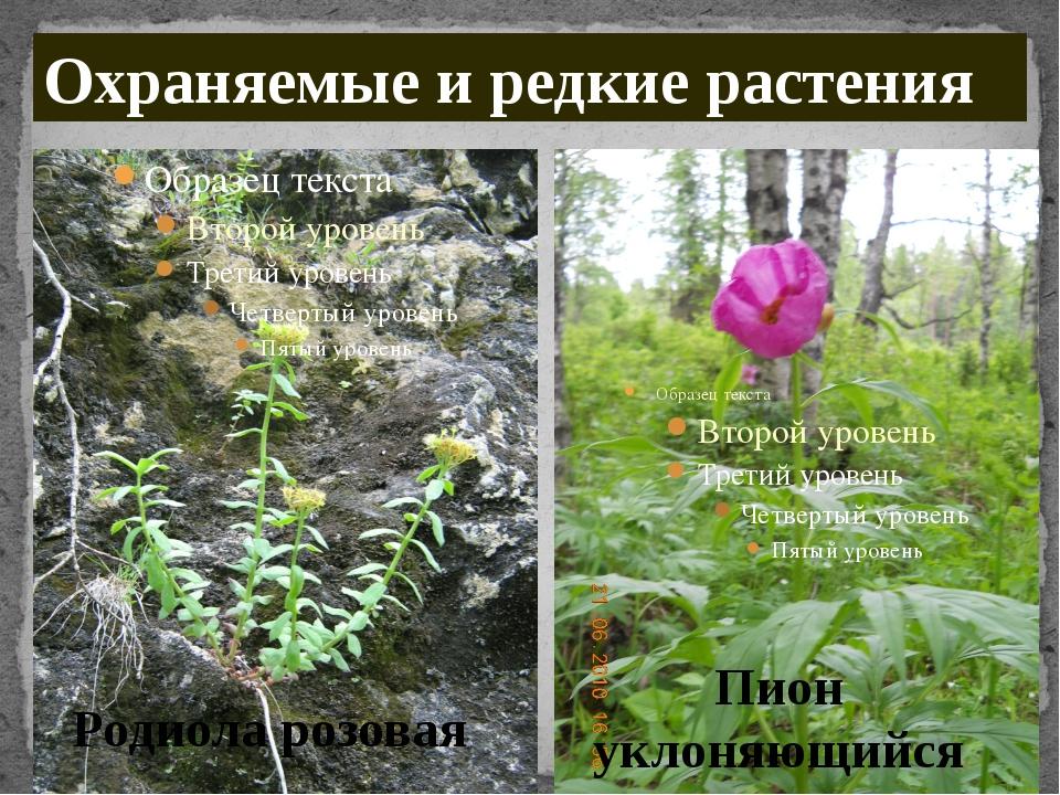 Родиола розовая Пион уклоняющийся Охраняемые и редкие растения