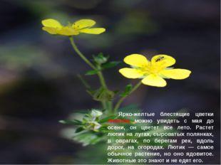Ярко-желтые блестящие цветки лютика можно увидеть с мая до осени, он цветет
