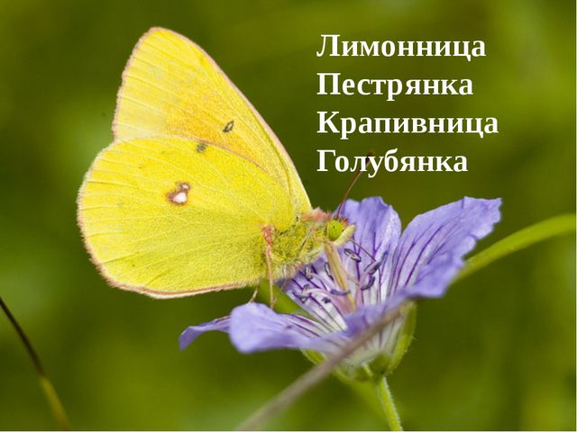 Лимонница Пестрянка Крапивница Голубянка