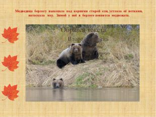 Медведица берлогу выкопала под корнями старой ели, устлала её ветками, натаск