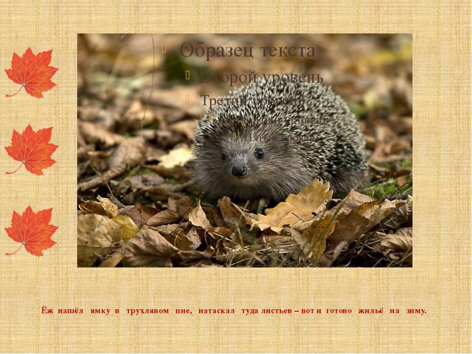 Ёж нашёл ямку в трухлявом пне, натаскал туда листьев – вот и готово жильё на...