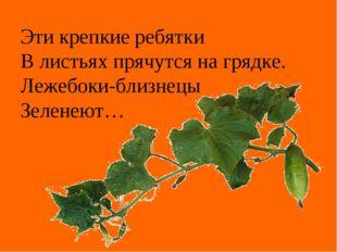 Эти крепкие ребятки В листьях прячутся на грядке. Лежебоки-близнецы Зеленеют…