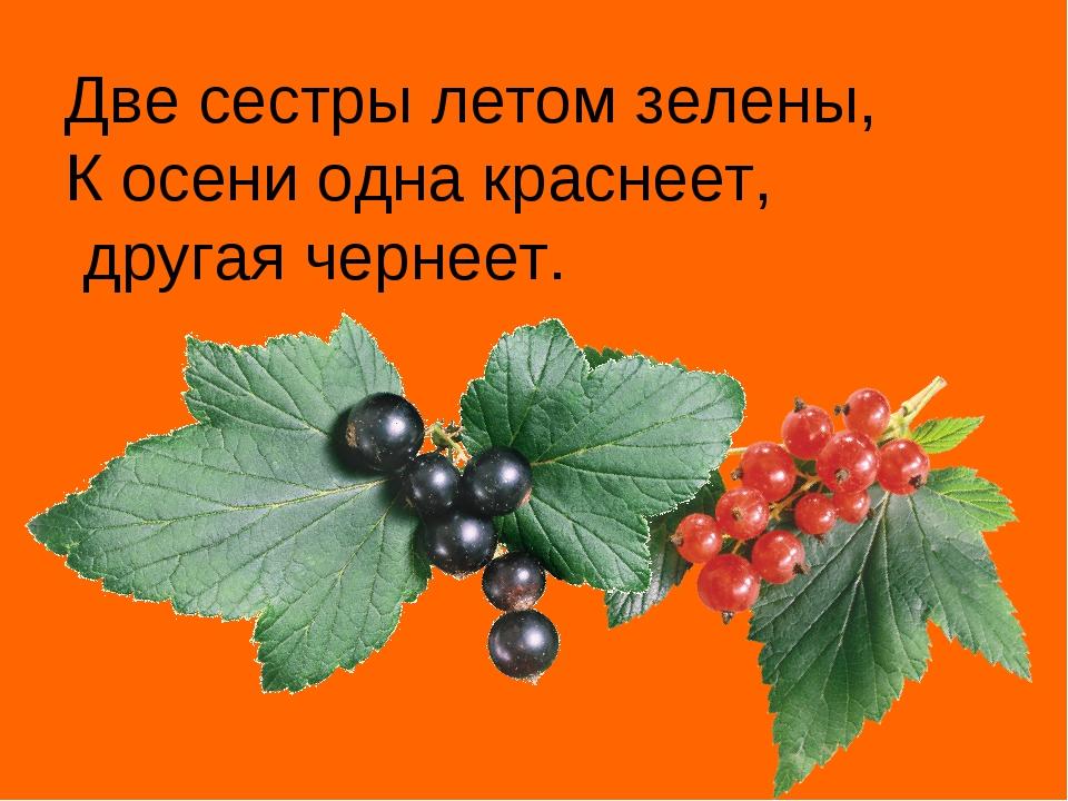 Две сестры летом зелены, К осени одна краснеет, другая чернеет.