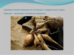Корневые клубни образуются на боковых и придаточных корнях. Функция – запасан