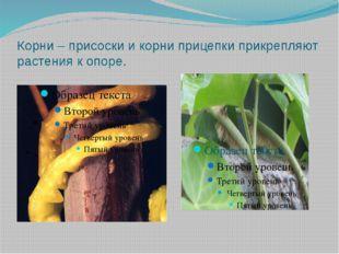 Корни – присоски и корни прицепки прикрепляют растения к опоре.