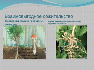 Взаимовыгодное сожительство Корней деревьев и грибницы - микориза Корней бобо