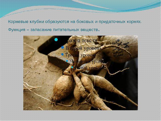 Корневые клубни образуются на боковых и придаточных корнях. Функция – запасан...