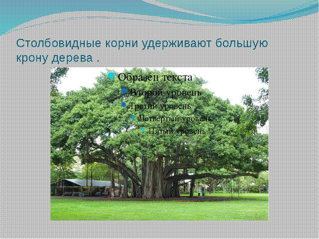 Столбовидные корни удерживают большую крону дерева .