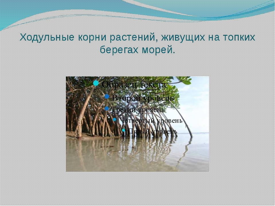 Ходульные корни растений, живущих на топких берегах морей.