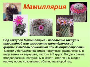 Род кактусов Маммиллярия - небольшие кактусы шаровидной или укороченно-цилинд