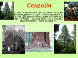 Секвойя Замечательна секвойя тем, что является самым высоким деревом в мире.