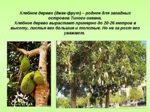 Хлебное дерево (джек-фрут) – родное для западных островов Тихого океана. Хлеб