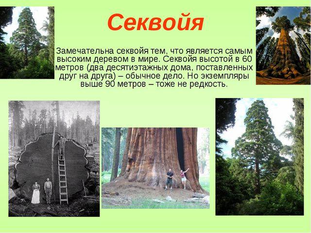 Секвойя Замечательна секвойя тем, что является самым высоким деревом в мире....