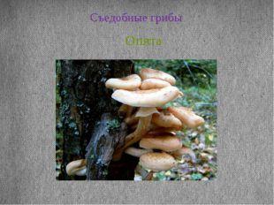 Съедобные грибы Опята