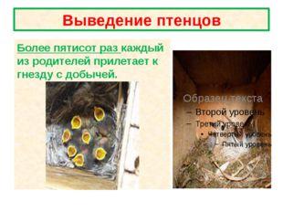 Выведение птенцов Более пятисот раз каждый из родителей прилетает к гнезду с
