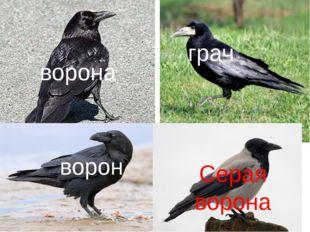 ворона грач ворон Серая ворона