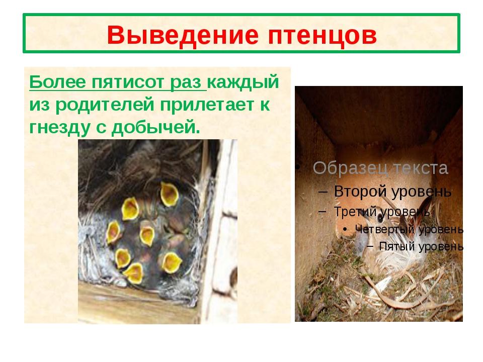 Выведение птенцов Более пятисот раз каждый из родителей прилетает к гнезду с...