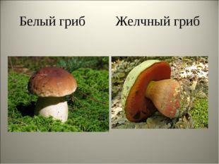Белый гриб Желчный гриб